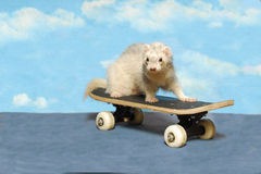 Ferret on a Skate Board Stock Photos