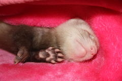 Ferret sleeping  Royalty Free Stock Photos