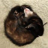 Ferret sleeping Stock Photography