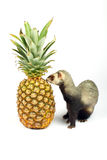 Ferret sniffs pineapple Royalty Free Stock Photography