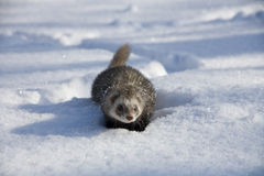 Ferret in the snow Stock Photo