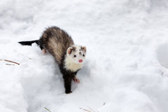 Ferret in the snow. Royalty Free Stock Photo