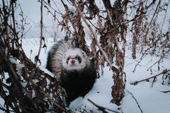Ferret in the snow. Ferret walking in the snow stock photo