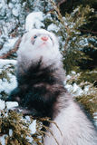 Ferret in the snow. Ferret walking in the snow royalty free stock image