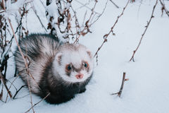 Ferret in the snow. Ferret walking in the snow royalty free stock photos