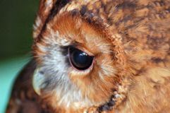Tawny owl face royalty free stock images