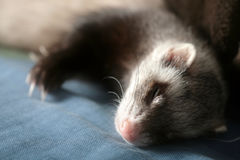 Ferret on sofa royalty free stock photography