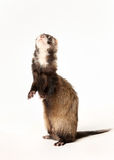 Ferret standing on rear lags Royalty Free Stock Photo