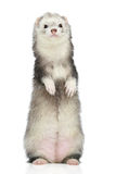 Ferret standing on a white background Royalty Free Stock Photo