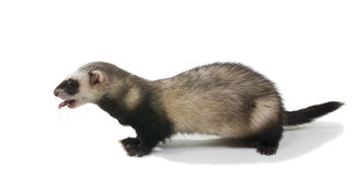 The ferret stands with protruding tongue Royalty Free Stock Photos
