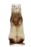 Ferret stands on a white background Stock Photos