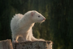 Ferret on a stump Royalty Free Stock Image