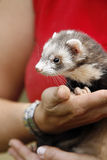Ferret sure in Moms hand Stock Photo