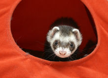 Ferret in a tent. Ferret in an orange tent Royalty Free Stock Photo
