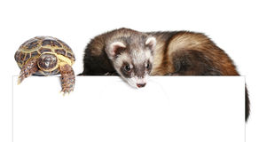 Ferret and tortoise Royalty Free Stock Photo