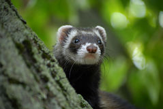 Ferret on tree Stock Photo