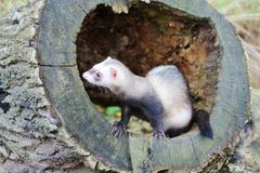 Ferret on tree stump Stock Photos