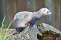 Ferret on tree stump Stock Photo