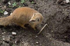 Ferret Stock Images