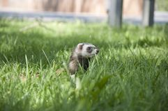 Ferret walking in the grass Stock Photos