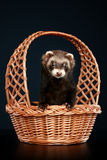 Ferret in wattled basket Royalty Free Stock Images