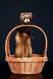 Ferret in wattled basket. On a dark-blue background Stock Images