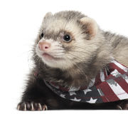 Ferret wearing American flag scarf Stock Photography