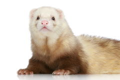 Ferret on a white background Royalty Free Stock Photos