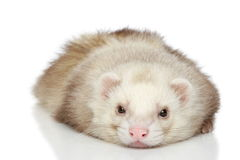 Ferret on a white background Royalty Free Stock Images