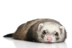 Ferret on a white background Stock Images