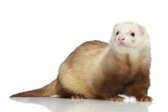 Ferret on a white background Royalty Free Stock Image