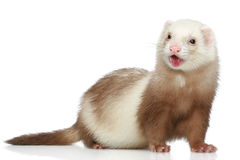 Ferret on a white background Stock Photo