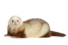 Ferret on a white background Royalty Free Stock Photo