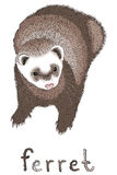 Ferret on a white background. Cute little funny puppy ferret on a white background Stock Image