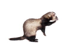 Ferret on white background Royalty Free Stock Photos