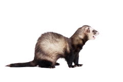 Ferret on white background Stock Photos