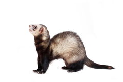 Ferret on white background Royalty Free Stock Images