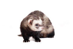 Ferret on white background Stock Photography
