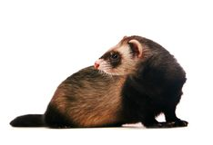 Ferret on white background Stock Photo