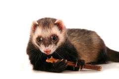 Ferret on white background Stock Images