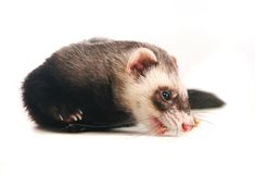 Ferret on white background Royalty Free Stock Image