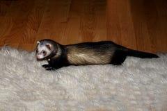 Ferret on white rug Royalty Free Stock Images