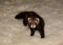 Ferret on white rug 2 Royalty Free Stock Photos