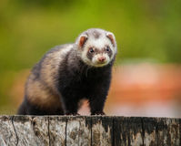 Ferret Royalty Free Stock Photos