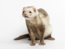 Ferret (3 years old) Stock Image