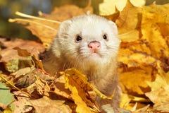Ferret in yellow autumn leaves Stock Photo