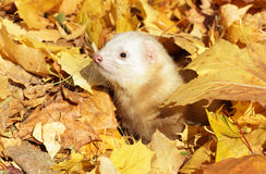 Ferret in yellow autumn leaves Stock Photos