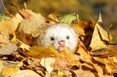 Ferret in yellow autumn leaves Royalty Free Stock Photos