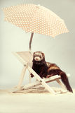 Ferret young male portrait on beach chair in studio. Ferret portrait on beach chair in studio Royalty Free Stock Photo