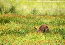 ferreting下来在野花的红色袋鼠 库存照片